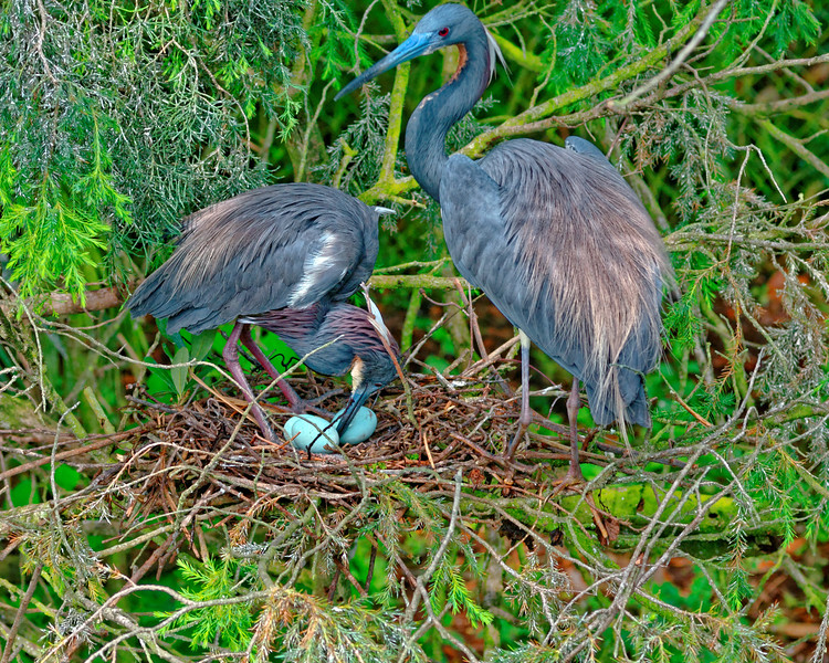 Tri-color Heron Family