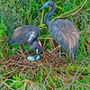 Tri-color Heron Family
