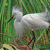 Another Snowy Egret