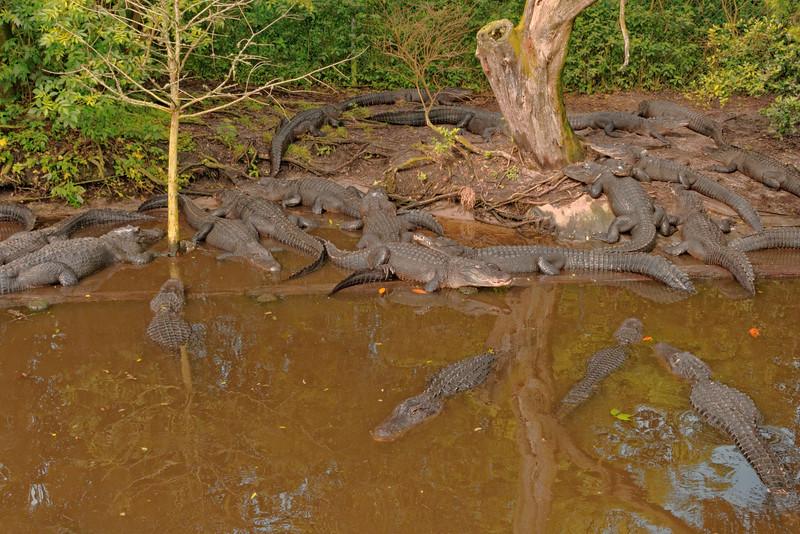 Lots of Alligators!