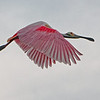 Another Spoonbill flying