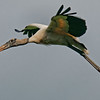 Wood Stork in flight