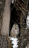 This is a Barred Owl watching you.