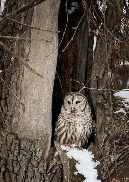 """This is a Barred Owl watching a Pentax Guy with growing concern. """"One more step and I'm outa here."""""""