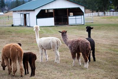Alpacas at Krystal Acres, San Juan Island, Washington