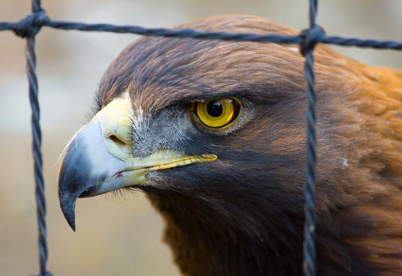 (Golden) Eagle