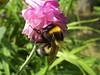 bumble bee in a columbine