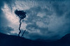 Skye Tree. Skye, Scotland.<br /> Cyanotype Rex toned using tannic acid.