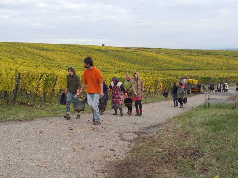 When I left the Alsace in the end of October, the grape harvest was still underway.