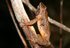 Spring Peeper - River Bourgeois, Cape Breton May 30th, 2009