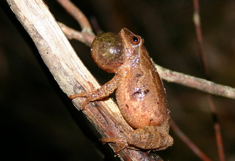 Spring Peeper - River Bourgeois, C.B. May 30th,2009