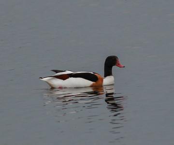 Shelduck Texal Island Netherlands 2014 0627-1.JPG-1.JPG.JPG