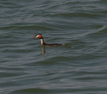 Great-crested Grebe  Netherlands 2014 06 26-4.JPG