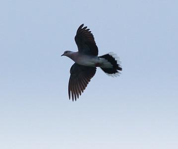 Turtle Dove Texal Island Netherlands 2014 0627-1.JPG-1.JPG.JPG