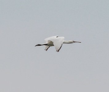 Spoonbill Texal Island Netherlands 2014 0627-1.JPG-1.JPG-1.JPG