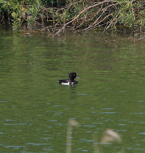 Tufted Duck  Netherlands 2014 06 26-1.JPG