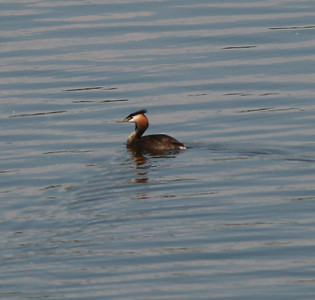 Great-crested Grebe  Netherlands 2014 06 26-3.JPG