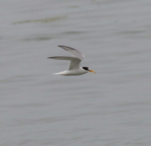 Little Tern Texal Island Netherlands 2014 0627-1.JPG-1.JPG-2.JPG