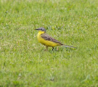 Yellow Wagtail Texal Island Netherlands 2014 0627-1.JPG-1.JPG.JPG