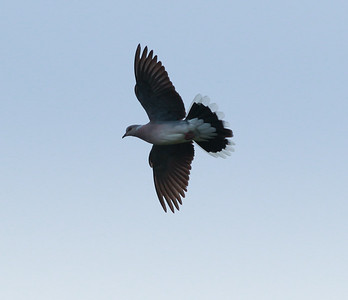 Turtle Dove Texal Island Netherlands 2014 0627-1.JPG-1.JPG-2.JPG