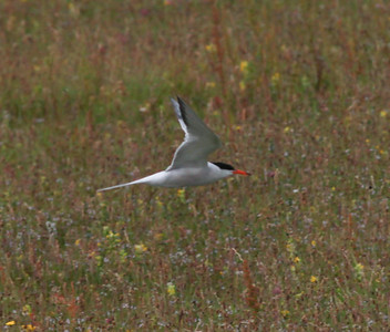 Common Tern Texal Island Netherlands 2014 0627-1.JPG-1.JPG.JPG