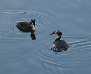 Great-crested Grebe  Netherlands 2014 06 26-1.JPG