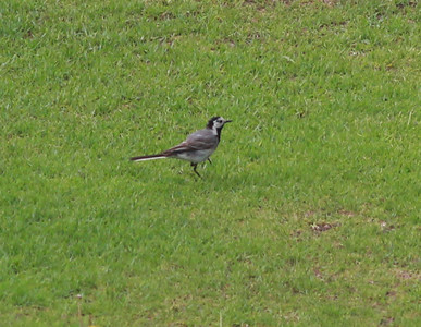 White Wagtail  Sitches Spain 2014 06 24-1.JPG