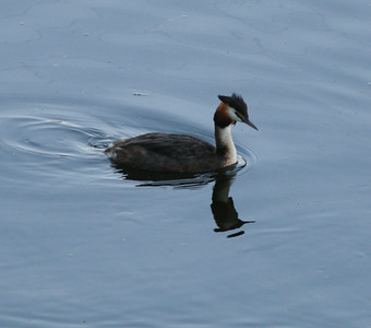 Great-crested Grebe  Netherlands 2014 06 26-2.JPG
