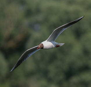 Black-headed Gull Netherlands 2014 06 26-2.JPG