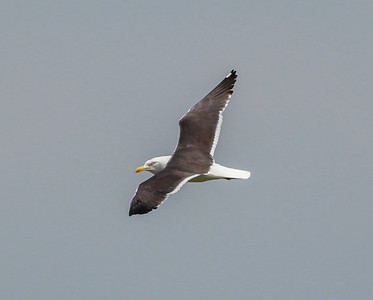 Lesser Black-backed Gull Netherlands 2014 06 26-1.JPG