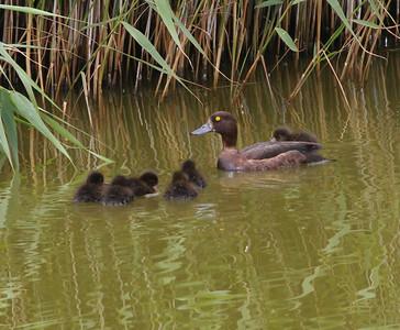 Tuffted Duck  Texal Island Netherlands 2014 0627-1.JPG-1.JPG-4.JPG