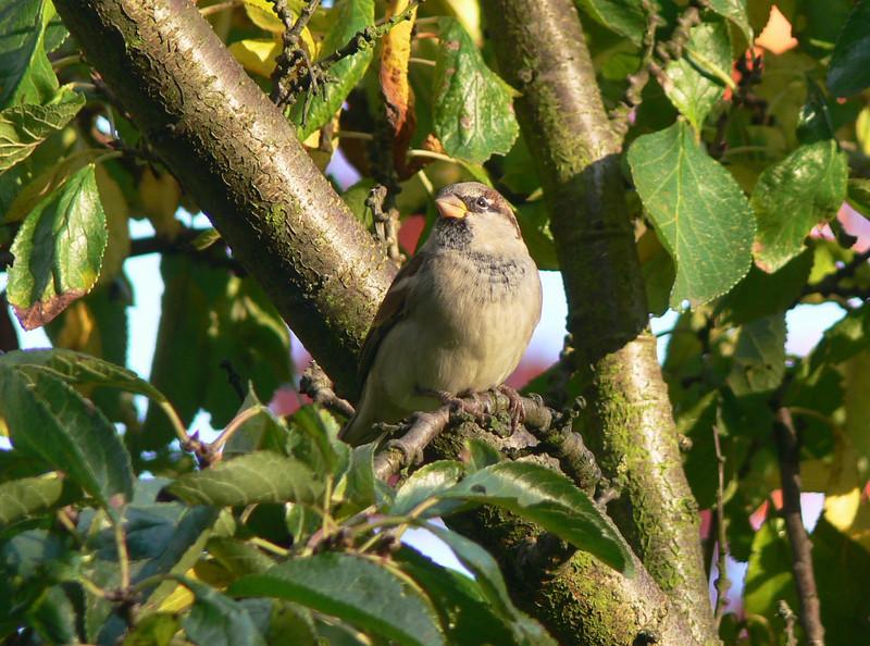 sparrow in the garden - precious bird in a european city.