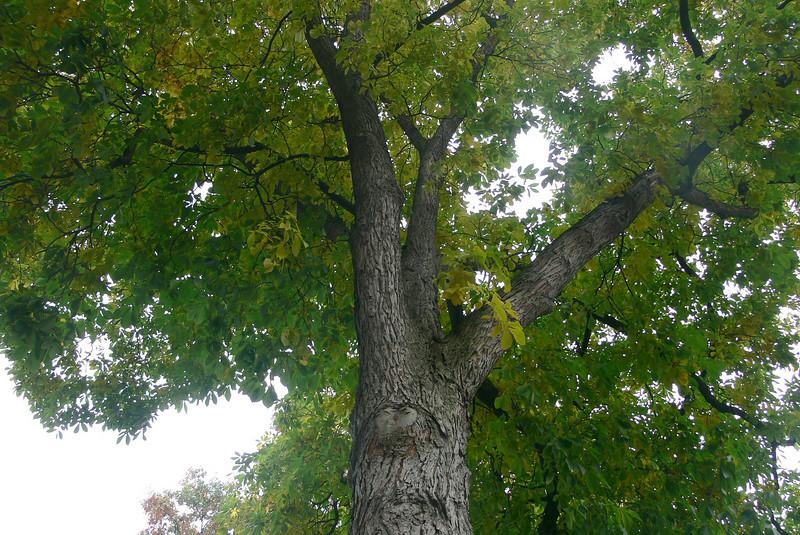big old hickory