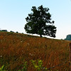 Tree on Phipps' Farm in August - Alleghany County, NC