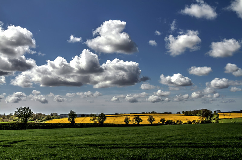 A bright field of oil-seed rape near Badbury Rings