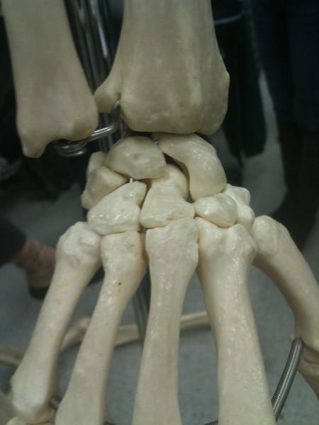 AnatandPhys Bones Fischer Williams Photo0088