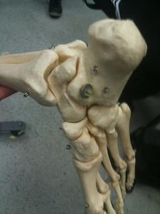 AnatandPhys Bones Fischer Williams Photo0076