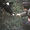 1965 14 Pijprokende koe.