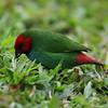 Fiji Parrot Finch_8670
