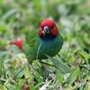 Fiji Parrot Finch_8650