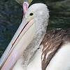 Pelican 1418