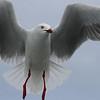 Seagull in Flight, Sydney Harbour