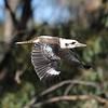 Kookaburra in flight