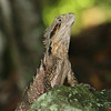 Lizard, Burleigh Heads