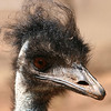 Emu having a 'bad hair' day