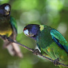 Australian ringneck, the broad-tailed parrot species Barnardius zonarius