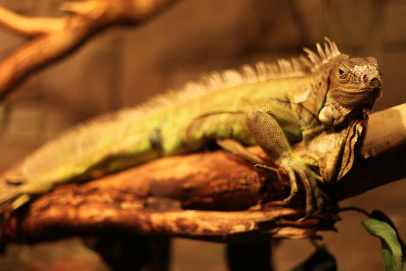 Iguana_6295