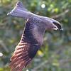 Hawk 0097 (2)