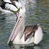 Pelican 1414