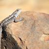 Lizard_9905